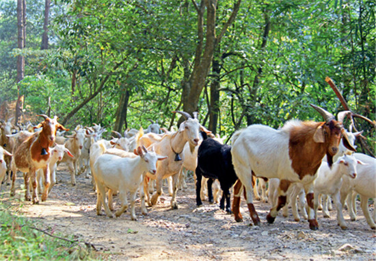 p24+林下养羊