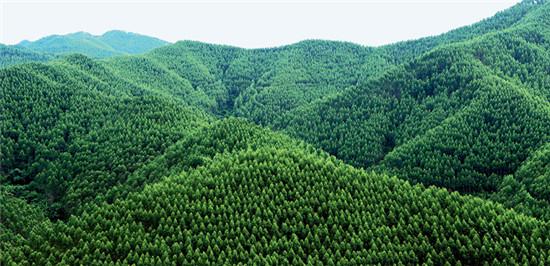 p31+桉树林