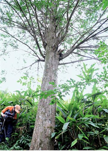 p38+红豆杉(国家一级)