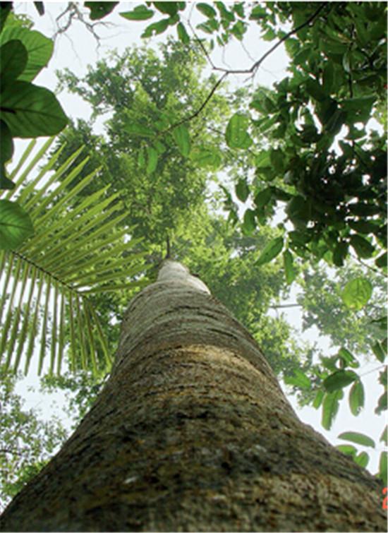 p48-3+望天树-国家一级保护植物