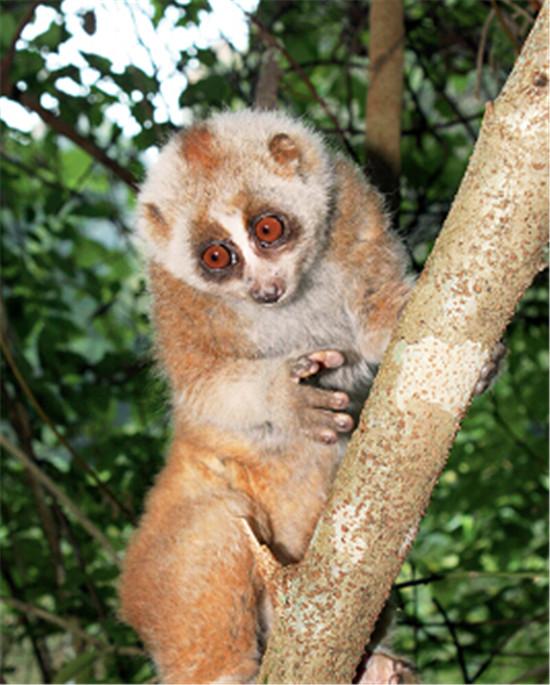 p48-2+蜂猴-国家一级保护动物