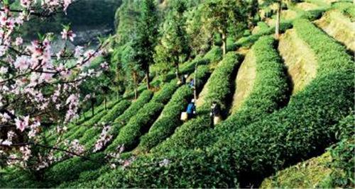 p36 红山生态茶园