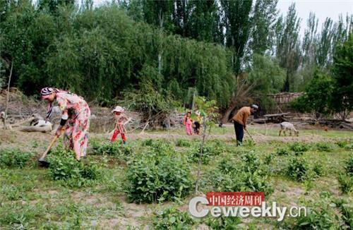 P58-麦盖提县 5 乡 11 村的维吾尔族农民在为金银花锄草 《中国经济周刊》记者 韩文 I 摄