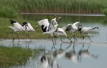 扎龙湿地悠闲地丹顶鹤