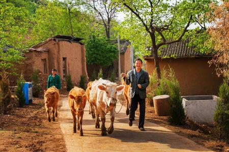 群众放牛归来