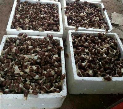 整箱的蜗牛,即将发往北京市场