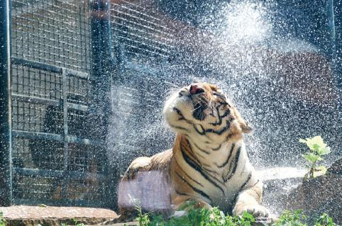 "p43(1) 7 月12 日,济南动物园的东北虎在""冲凉""解暑。"