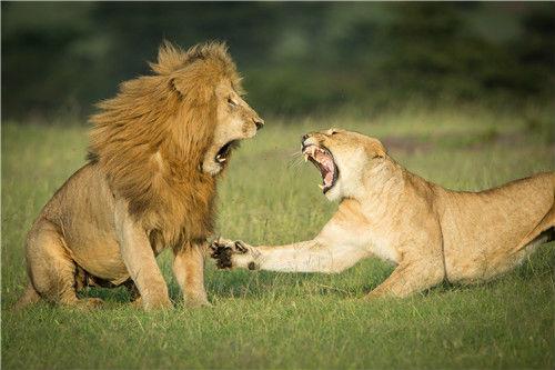 37 肯尼亚马赛马拉国家公园,一只雌狮对它的配偶吼叫。在多天的交配并伴随食物和睡眠不足的情况下,这对狮子显得暴躁不安。图片来源:视觉中国