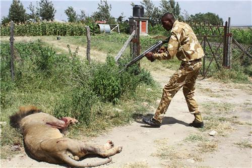 39-1 当地时间2016年3月30日,一头狮子从肯尼亚安波塞利国家公园跑出,袭击并致伤一名当地居民。捕捉计划失败后,肯尼亚野生动物管理局人员持枪将狮子射杀。图片来源:视觉中国