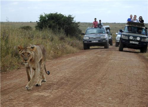 39-2 来自世界各地的游客近距离围观野生狮子。受越来越多的游客、周边农民开垦等影响,野生狮子的生存环境堪忧。图片来源:视觉中国