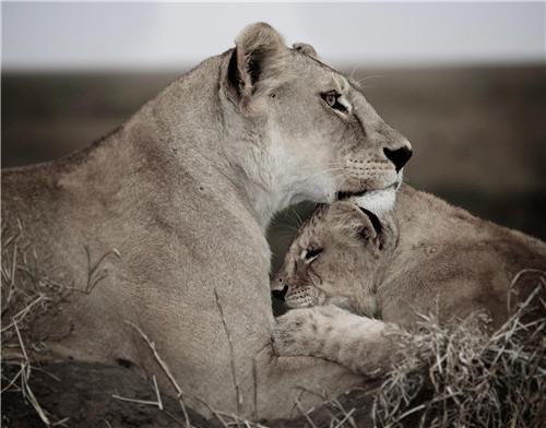 38 英国摄影师加里·罗伯茨拍摄的狮子母亲和幼崽。罗伯茨称,如今非洲狮的数量相比20多年前他来非洲时减少了近90%。图片来源:视觉中国