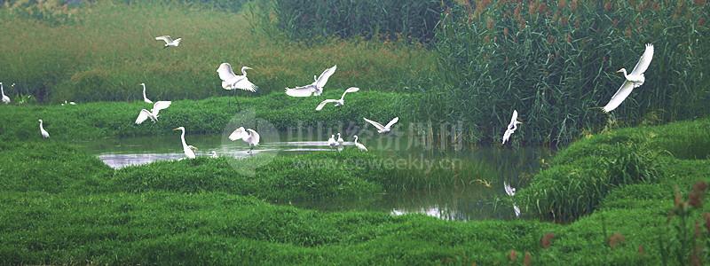 """P38 白鹭在萧太后河附近嬉戏。当地居民说,从7月底开始,在附近落脚的白鹭越来越多,清晨时几乎是""""漫天飞舞""""。"""
