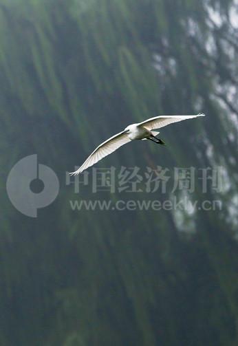 """P40 在空中滑翔的白鹭,姿态优美。过去的""""牛奶河""""如今成为白鹭窝。"""