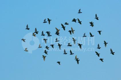 P41 萧太后河的整治行动,不仅带来了白鹭,还有众多其他鸟类。