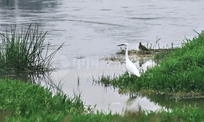 P41 萧太后河中聚集的主要是白鹭和大白鹭,还有黑翅长脚鹬等鸟类。