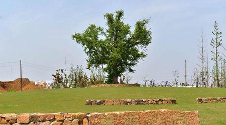 3、苏滁现代产业园区银杏公园的古银杏树