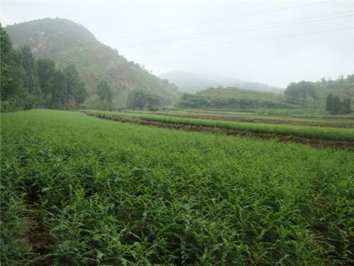 5  皂角刺种植基地