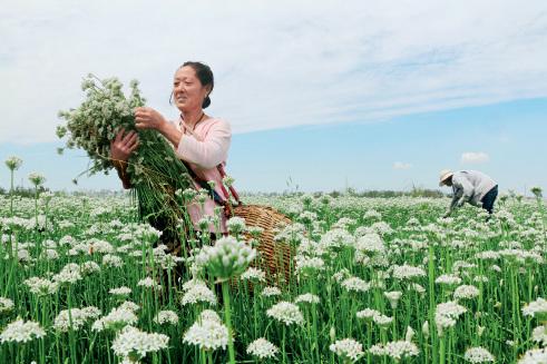 52-5 初秋时节,江苏省灌云县种植的1.2 万亩韭菜长势喜人。农民忙着采摘、出售韭花。图片来源:视觉中国