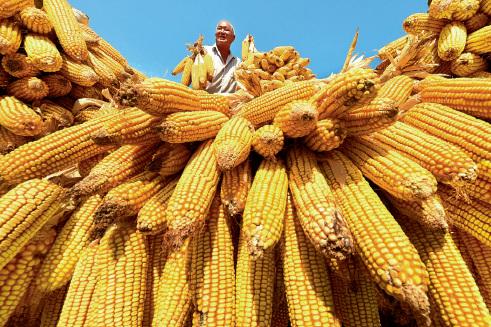 52-4 金秋9 月,一位山东省淄博市天井官庄村的农民正在挂晒收获的玉米。