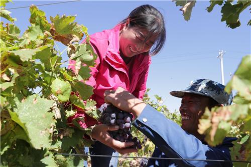p71-2 宁夏红寺堡区通过举办葡萄采摘旅游文化节等活动促进生态移民增收致富。视觉中国