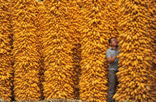 p137-2013 年9 月28 日,山西运城市新绛县,晾晒丰收的玉米。(视觉中国)