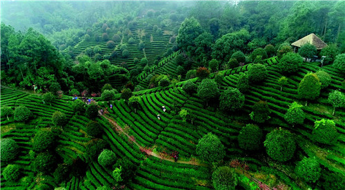p86位于昭平县马圣村的鼎湖区扶贫协作有机茶基地。张水生I 摄