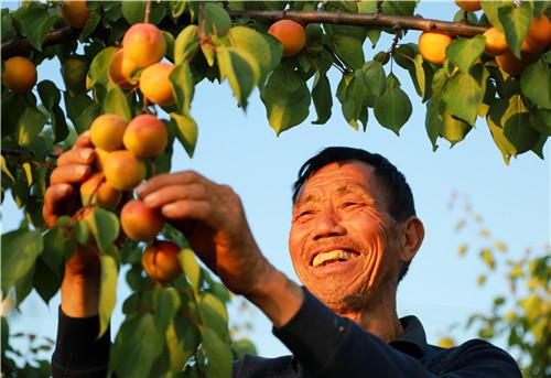 2  黄杏丰收