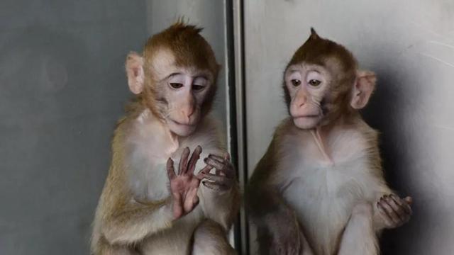 """【中国创造70年】""""克隆猴""""诞生背后:孤岛建猴场,试错5年"""