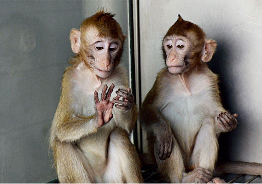 """体细胞克隆猴""""中中""""""""华华"""" 日常生活状态中科院脑智卓越中心  供图"""