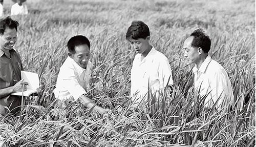 p62中国杂交水稻的育成,为水稻大幅度增产开辟了新的途径,在国际上产生了重大影响。图为袁隆平(左二)和科技人员在观察杂交水稻生长情况。新华社