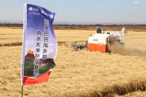 黑龙江省牡丹江市的阿里巴巴响水大米种植基地,又到了收割季