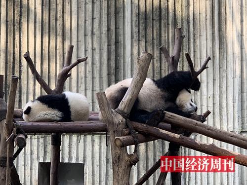 成都大熊貓繁育研究基地里的熊貓,睡姿奇特。