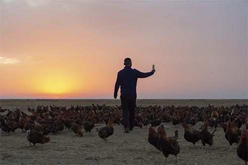 """p33 今年40歲的桑慶軍因為把一條養雞的短視頻傳到網上,他和他的""""雞部隊""""一夜之間都成了""""網紅"""",""""溜達雞""""更因為綠色的飼養方式供不應求。"""