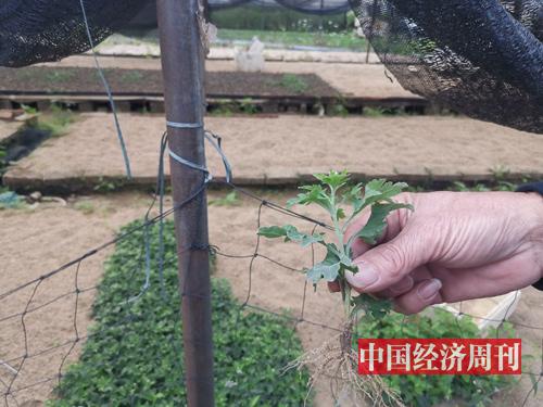 花農展示菊花花苗 《中國經濟周刊》記者 羅赟 攝