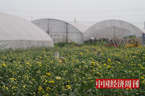 花田成片的菊花 《中國經濟周刊》記者 羅赟 攝
