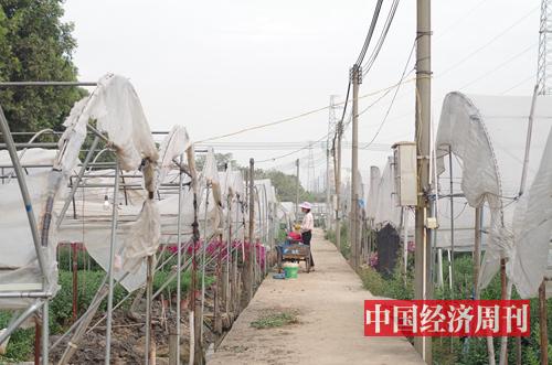 仍有部分花農在花田勞作 《中國經濟周刊》記者 羅赟 攝