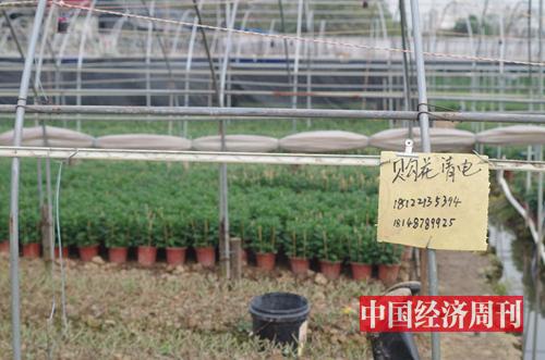 有花農為接受顧客預訂豎起牌子 《中國經濟周刊》記者 羅赟 攝