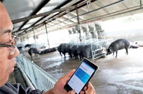 p67-2京東農牧與吉林精氣神有機農業股份有限公司合作,將智能養殖解決方案引入位于吉林省撫松縣的兩個山黑豬養殖園區,