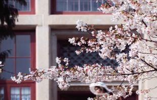 视频|与武大樱花的约定