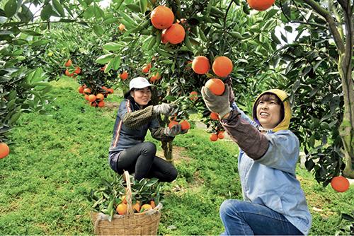p87-1 秭归脐橙早已成为网红品牌农产品