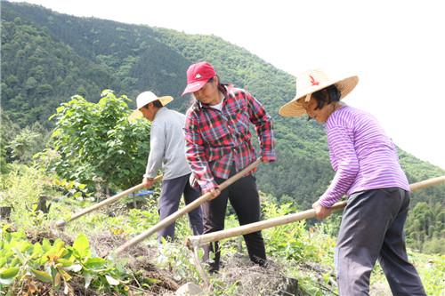 旌德县孙村镇居家就业扶贫基地——新建村牛山白茶基地,当地村妇正在进行白茶管护。