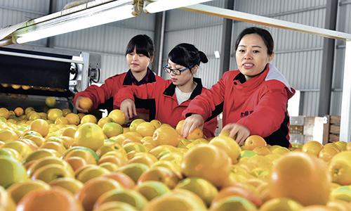 101 江西省安远县世果汇员工包装车间里一派忙碌的场景,贫困妇女赖玉珍等人正在对脐橙进行包装打包,以备外销。
