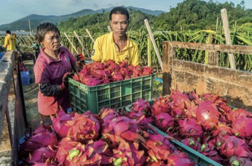 101-2 新兴县农民收获的火龙果。新兴县的农业发展水平接近发达农业国家水平。
