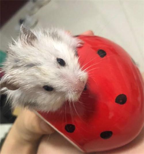 瑩瑩的小倉鼠