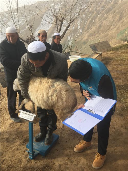碧桂园扶贫干部在甘肃东乡贫困户家里收羊做记录,开展消费扶贫活动,帮助贫困户增收