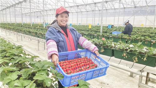 广东英德连樟村农民在现代农业科技示范园中劳作。国强公益基金会、碧桂园农业投资建设了连樟现代农业科技示范园,引导当地农民就近就业、实现增收。
