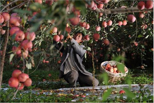 鹽源果農肖宗全去年9月參加當地扶貧協作工作組與拼多多舉行的專場直播,為當地蘋果打開銷路