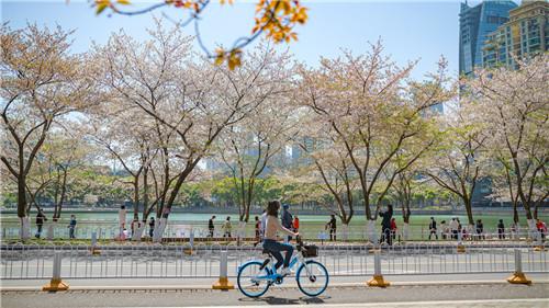 2021年3月武漢櫻花季,市民騎車觀賞櫻花。過去五年,共享單車在哈啰助力推動下已成為各地不少市民日常中短途出行的首選交通工具。